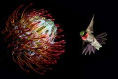 与热带花的蜂鸟在黑背景 免版税库存图片