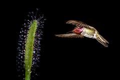 与热带花的蜂鸟在黑背景 免版税图库摄影