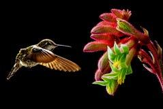 与热带花的蜂鸟在黑背景 库存图片