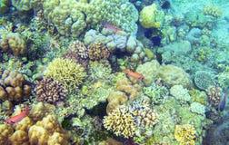 与热带鱼的水下的风景 珊瑚变化 异乎寻常的海岛浅水区野生生物 免版税图库摄影