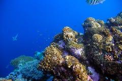 与热带鱼的水下的珊瑚礁 免版税库存照片