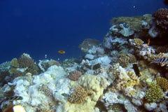与热带鱼的水下的珊瑚礁 免版税图库摄影