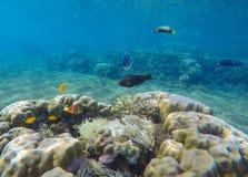 与热带鱼的水下的风景 与黄色和黑鱼的珊瑚礁风景 免版税库存图片