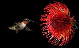 与热带Waratah花的蜂鸟在黑背景 免版税库存照片