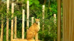 与焦点的猎豹在面孔 免版税库存照片