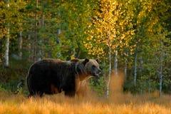 与熊的秋天木头 走在有秋天颜色的湖附近的美丽的棕熊 危险动物在自然草甸栖所 Wi 图库摄影
