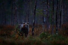 与熊的秋天树 夜在森林美丽的棕熊掩藏的自然熊走在有秋天颜色的湖附近 危险 免版税库存图片