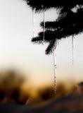 与熔化的冰的Pin树 库存图片