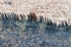 与熔岩蜥蜴的海洋加拉帕戈斯鬣鳞蜥 库存图片