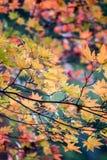 与燃烧的秋叶上色被阐明的withs阳光 免版税图库摄影