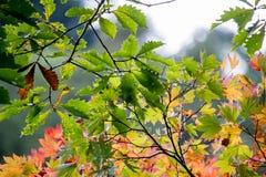 与燃烧的秋叶上色被阐明的withs阳光 库存照片