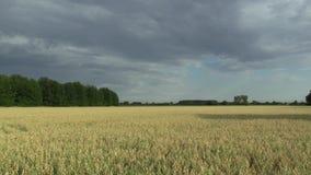 与燕麦燕麦属漂白亚麻纤维的生物金子的领域,广泛地增长作为五谷,乡下,射击细节美好的哈纳风景  影视素材