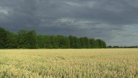与燕麦燕麦属漂白亚麻纤维的生物金子的领域,广泛地增长作为五谷,乡下,射击细节美好的哈纳风景  股票视频