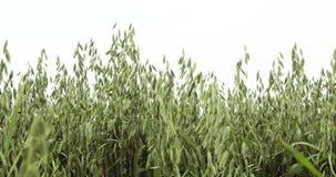 与燕麦燕麦属漂白亚麻纤维的生物金子的领域,广泛地增长作为五谷,射击细节,家畜哺养,健康吃的食物 股票视频