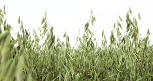与燕麦燕麦属漂白亚麻纤维的生物金子的领域,广泛地增长作为五谷,射击细节,家畜哺养,健康吃的食物 股票录像