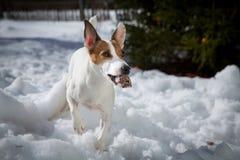 与爆沸的一条狗在雪 图库摄影