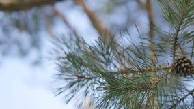 与爆沸的美好的杉木分支在阳光背景 股票视频