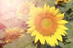 与爆炸光的向日葵 免版税库存照片