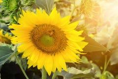 与爆炸光的向日葵 库存照片