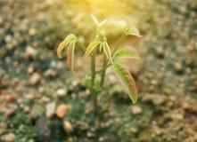 与爆炸光的幼木成长 免版税库存图片