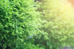 与爆炸光的杉树 免版税库存照片