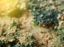 与爆炸光的胡椒幼木 库存照片