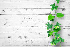 与爬行植物的白色砖墙背景 图库摄影