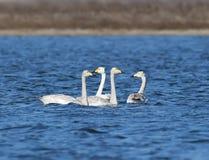 与父母漂浮的三幼小美洲天鹅 库存照片
