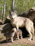 与父母的幼小灰狼小狗 库存图片