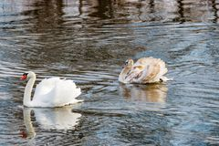 与父母的幼小白色天鹅漂浮河的水表面上 免版税库存照片