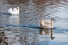 与父母的幼小白色天鹅漂浮河的水表面上 图库摄影