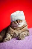 与牙买加样式帽子的幼小猫 库存照片
