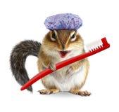 与牙刷和浴帽的滑稽的花栗鼠,隔绝在白色 免版税库存图片