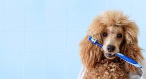 与牙刷的逗人喜爱的狗在卫生间 库存照片