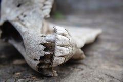 与牙的下颌在破裂的石地面的马头骨 库存照片