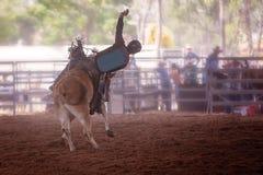 与牛仔车手的顽抗的公牛在室内国家圈地 免版税图库摄影