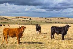 与牛和黑暗的云彩的美好的风景在日落,卡斯蒂利亚y利昂地区,西班牙 库存图片