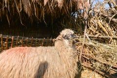 与牧群隔绝的绵羊吃在绵羊里面的干草种田 免版税库存图片