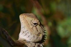 与特写镜头摄影的庭院蜥蜴 库存图片