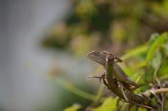 与特写镜头摄影的庭院蜥蜴 库存照片