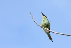 与牺牲者的一群美丽的绿色食蜂鸟 免版税库存照片