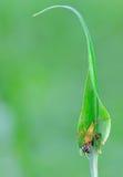 与牺牲者的天猫座蜘蛛 免版税库存图片