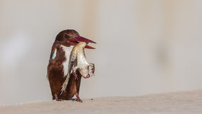 与牺牲者的白红喉刺莺的翠鸟 免版税图库摄影