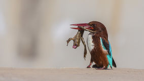 与牺牲者的白红喉刺莺的翠鸟 免版税库存照片