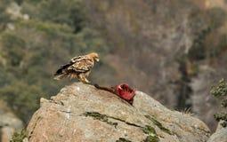 与牺牲者的皇家老鹰保持 免版税库存照片