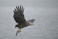 与牺牲者的老鹰 免版税库存照片