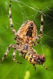 与牺牲者的蜘蛛 图库摄影
