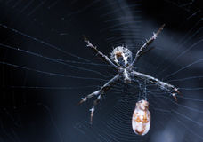 与牺牲者的蜘蛛 库存图片