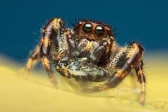 与牺牲者的跳跃的蜘蛛 库存图片