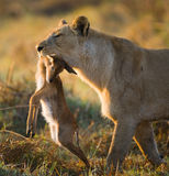 与牺牲者的雌狮 博茨瓦纳 Okavango Delta 免版税图库摄影